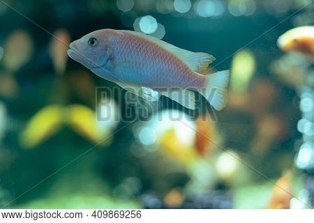 Aquarium Fish Cichlid In The Aquarium. Home Breeding