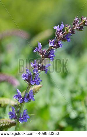 Meadow Sage Flowers - Latin Name - Salvia Nemorosa Subsp. Tesquicola