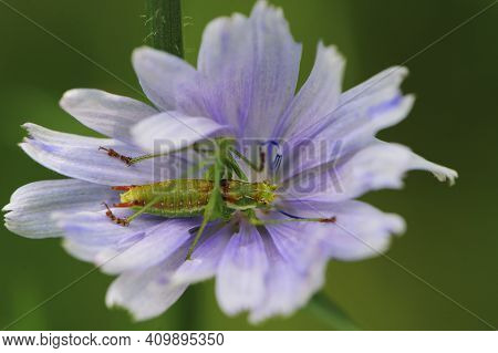 Grasshopper Sits On A Blue Chicory Flower On A Green Background. Delicate Blue Chicory Flowers, A Pl
