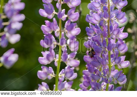 Bumblebee And Flower Lupine. Bumblebee Humblebee Pollination And Collects Nectar From A Purple Lupin