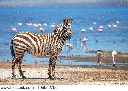 Plains Zebra (equus Quagga) At The Background Of A Lake With Flamingos