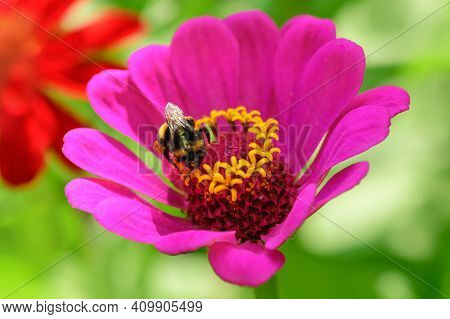 Bumblebee. One Large Bumblebee Sits On A Pink Flower On A Sunny Bright Day. Macro