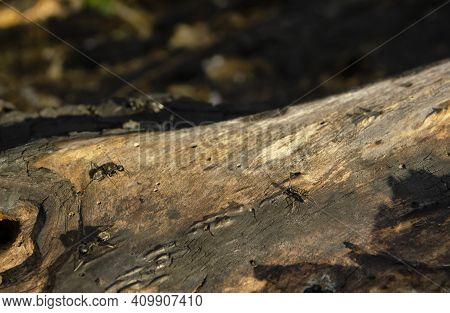 Wood Ant Peering From Hole In Wood. Carpenter Aka Wood Ant. Black Ant On Burnt Wood