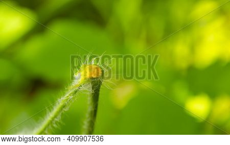 Sprout Of Chelidonium Majus Leaves Also Known:greater Celandine, Swallow Wort Or Tetterwort Latex Is