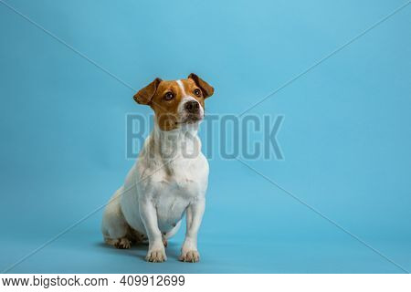 Dog pet jack russell terrier on blue background