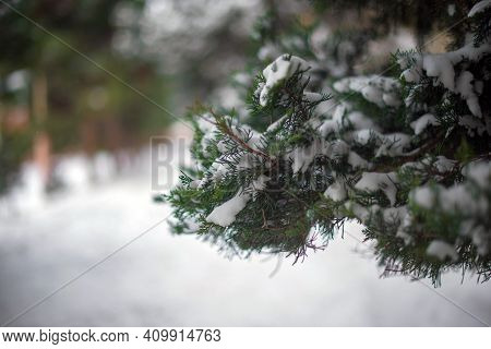 Snow On The Leaves Of The Pine Tree. Focused On The Background
