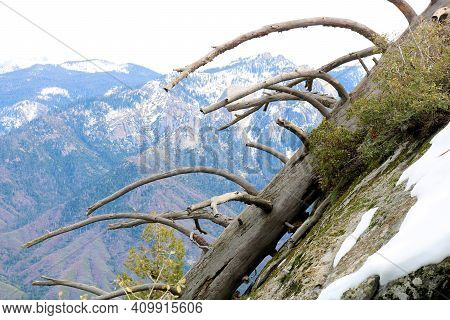 Haunting Image Of A Collapsed Pine Tree Which Settled On A Windswept Granite Rock Dome Covered With