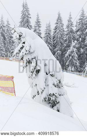 The Pine Trees Are Along Slopes Of Bukovel Ski Resort, Ukraine