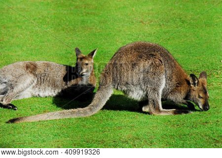 Close Up Of Two Cute Wild Red Necked Wallabies Enjoying A Sunny Day On A Grassy Field In Australia.