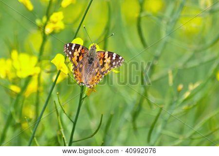 Butterfly in the rape