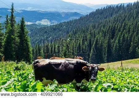 Beautiful landscapes of the Ukrainian Carpathians. View from the mountain Mali Gorgany and the mountain Sinyak. Picturesque walking route from Bukovel. Domestic cows graze in the highlands of the Carpathian Mountains giving ecologically clean milk.