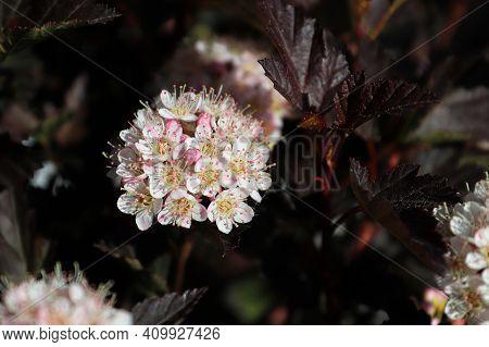 Stigma And Stamen On Pink And White Ninebark Flowers