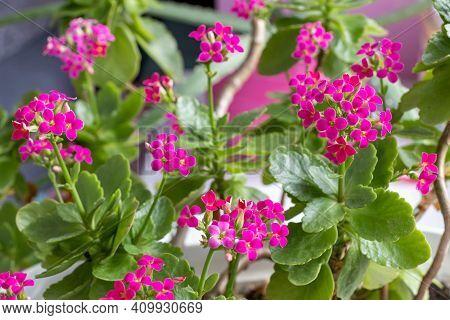 Pink Flowers Of A Flaming Katy - Kalanchoe Blossfeldiana