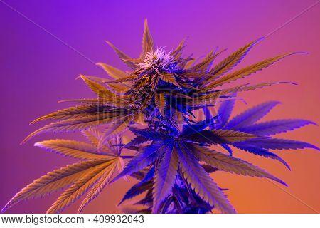 Beautiful Neon Cannabis Flowering Plant On Purple Background. Medicinal Marijuana With Blossoming Bu