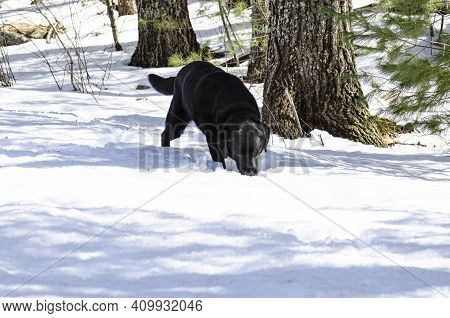 Black Lab In Snow Tracking On Hunt Sniffing