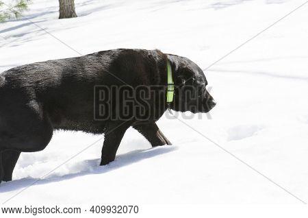 Black Lab In Snow On Hunt Sniffing
