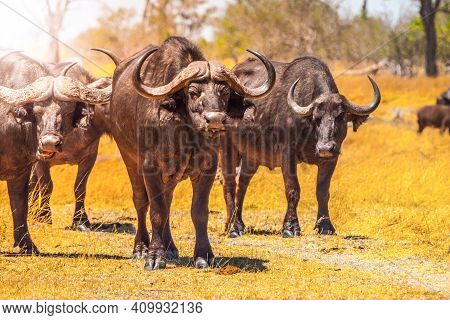 Herd Of African Buffalos Or Cape Buffalo, Syncerus Caffer, Large African Bovine In Savanna, Moremi G