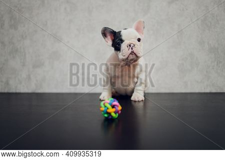 French Bulldog Puppy Glaring At The Camera.
