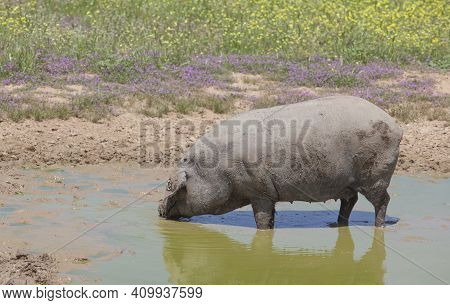 Hairless Breed Of Black Iberian Pig. Extremadura, Spain. Enjoying The Mud
