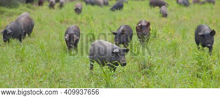 Black Iberian Piglets Running Free Through The Tall Grass. Badajoz Province, Extremadura, Spain