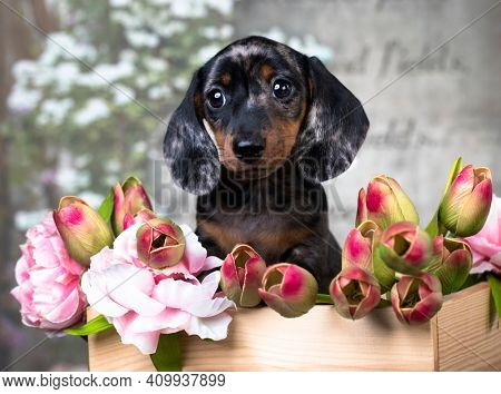 dachshund puppy brown tan merle dog and spring flowers