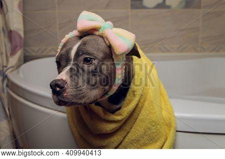 American Bully Bathing, Pitbull, Dog Cleaning, Dog Wet A Bath Yellow Towel.
