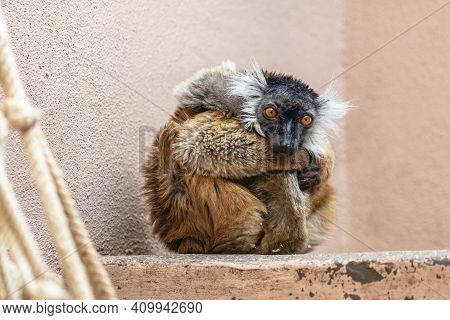 Sad Female Black Lemur Curled Up In Zoo Aviary. Cute Fluffy Captive Lemur (eulemur Macaco) Wearing A