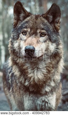 Beautiful Grey Wolf Close-up Portrait. Adult Timber Wolf (canis Lupus) With Blurred Forest In Backgr
