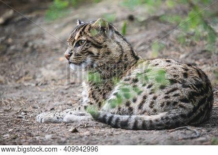 Beautiful Fishing Cat Lying On The Ground. Wild Asian Cat (prionailurus Viverrinus) With Yellowish T