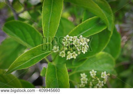 Delicate Flowers On A Celastrus Scandens Vine