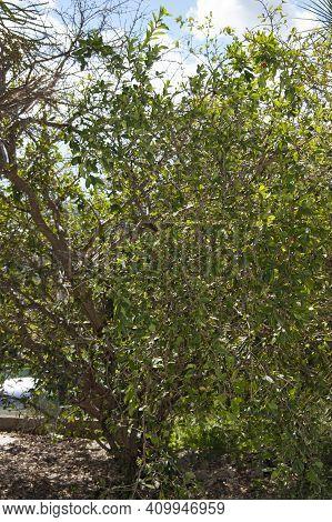 Tropical Fruit Tree On A Farm Setting