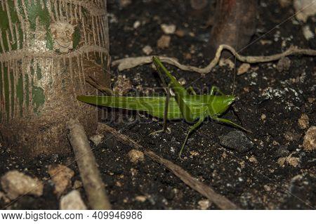 Bright Green, Large Grasshopper Sits In Dirt, Dark Setting