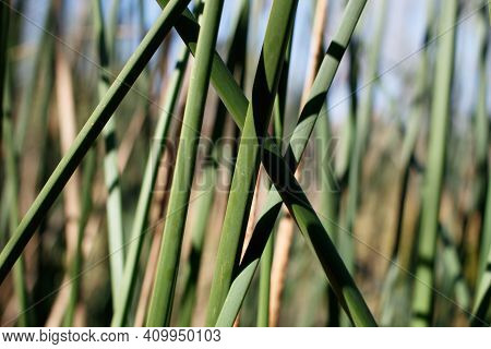 Green Bluntly Trigonous Clums Of California Bulrush, Schoenoplectus Californicus, Cyperaceae, Native