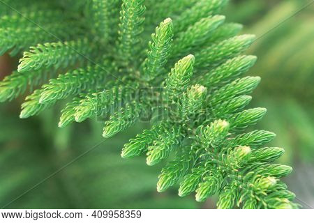 Pine (araucaria Heterophylla) Green Leaves Background, Nature