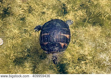 The Florida Red-bellied Cooter Or Florida Redbelly Turtle Is A Species Of Turtle In The Family Emydi