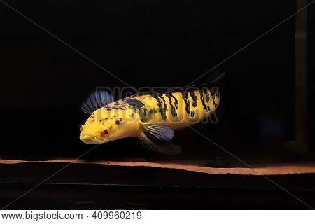 Yellow channa sentarum beautiful big predator fish