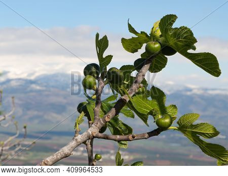 Young, Green, Unripe Figs Grow On A Tree Against The Background Of The Snow-capped Peak Of Mount Her