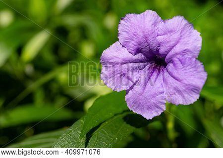 Beautiful Lilac Ruellia Brittoniana Flower Close Up