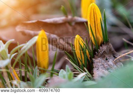 Yellow Spring Crocuses In The Early Morning Outdoor. Spring Background. Spring Orange Flowers With D