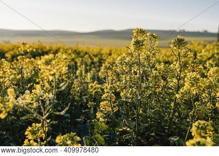 Scenic Rural Landscape With Yellow Rape, Rapeseed Or Canola Field. Blooming Canola Flowers Close Up.
