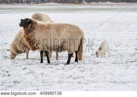 Three Sheep With One Lamb In A Snowy Pasture. The Newborn Lamb Eats Grass. Winter On The Farm. Blur,