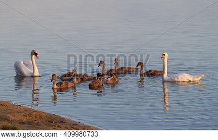 Mute Swan, Cygnus Olor. In The Early Morning, A Family Of Swans Floats Along The River Along The Sho