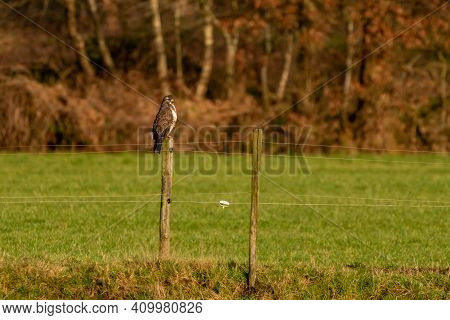 Large Bird Of Prey Walks On The Edge Of A Ditch In A Meadow And Hunts For Food. Majestic Brown-feath