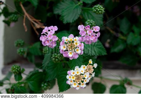 Lantana Camara Multi Colored Flowers On Green Bush. Exotic Flowers Of Tropical Countries