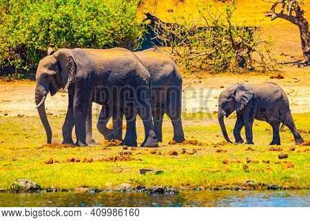 African Elephant Family With Young Baby Elephant Walk At Chobe River, Chobe Riverfront National Park