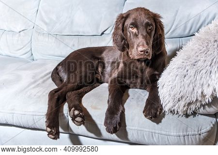 Brown Flat Coated Retriever Puppy At Home On The Bed. The Dog Is Resting On The Sofa Inside The Hous