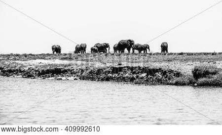 Elephants At The River. Herd Of Wild Animals In Chobe Riverfront National Park, Botswana, Africa. Bl