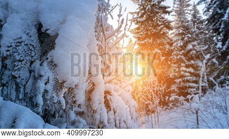 Winter Forest Snow Background. Snowy White Christmas Tree In Sunshine. Frost Nature Scene With Beaut