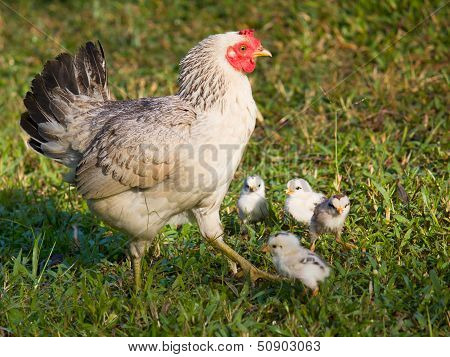 poster of chicken mom and chick in green grass