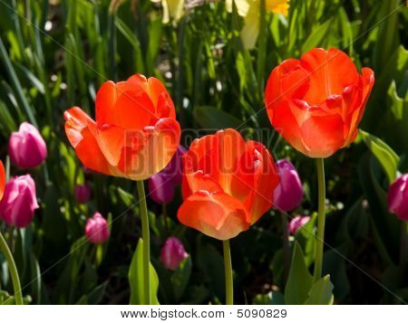 Lovely Orange Tulips